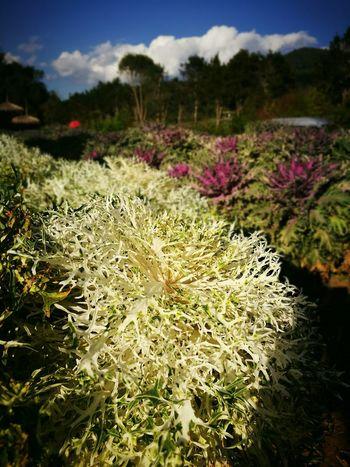 ดอกกะหล่ำปี Cauliflower Beauty Travel Food Nature Photography View Vegetablegarden