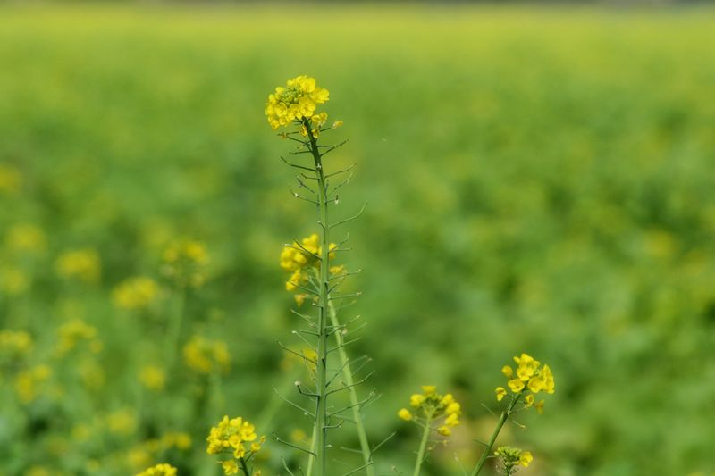 EyeEm Selects Plant Flower Flowering Plant Yellow Beauty In Nature Growth Close-up Land Tranquility Focus On Foreground Flower Head Green Color Field Nature Outdoors