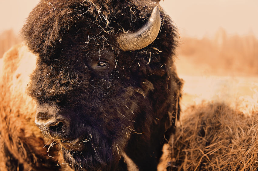 North American bison bull Animal BIG Bison Bison, Buffalo, Blackbirds, Wyoming, Wild, Animal, Horns, Fur, Raw, Brown Bull Close-up Day Eyes Focus On Foreground Mammal Nature North American Outdoors Selective Focus Straw USA