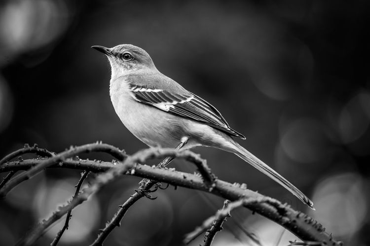 Animal Themes Animal Vertebrate Bird Perching One Animal Animals In The Wild Animal Wildlife Plant Focus On Foreground No People Branch Close-up Tree Outdoors Nature Day Full Length Twig Beauty In Nature Mockingbird In A Tree Mockingbird