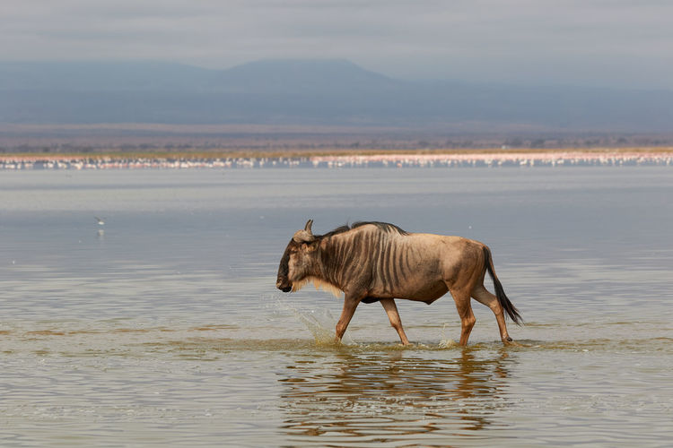 Wildebeest walking through the water at amboseli