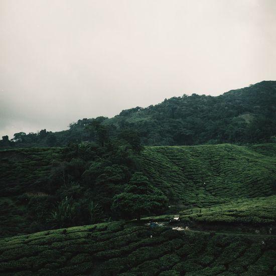Lonely tree. Film Film Photography Filmisnotdead Believeinfilm Greens Rolleiflex