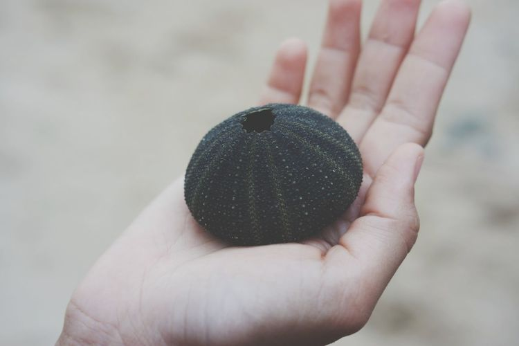 Close-Up Of Human Hand Holding Dead Sea Urchin