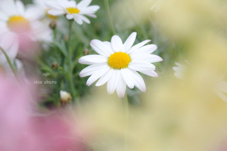 EyeEmBestPics EyeEm Best Shots Flowers, Nature And Beauty Flower Collection Flower Head Bokeh Photography Bokeh 前ボケ Marguerite マーガレット Flower Flowering Plant Freshness Fragility Vulnerability  Petal Plant Beauty In Nature Close-up White Color Flower Head Nature