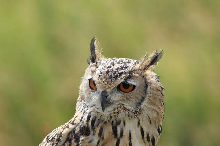 Alertness Animal Animal Wildlife Bird Bird Of Prey Birds Close-up Eagle Owl  One Animal