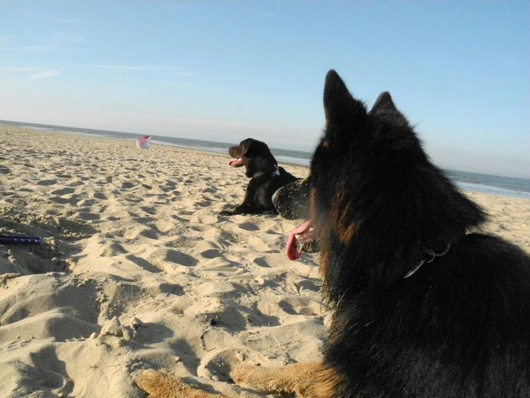 Dog❤ German Shepherd Labrador Animals Beach Life Pet Love I Love My Dogs❤️ Dog Love Pet Photography  Playing With The Animals