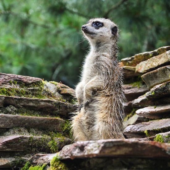 On the lookout! / Op de uitkijk! Artis  Natura Magistra Amsterdam Meerkat Lookout Suricate Stokstaartje Zoo Zoo Animals  020