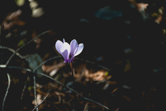 cyclamen.. Beauty In Nature Blooming Close-up Crocus Cyclamen Cyclamen Persicum Day Flower Flower Head Fragility Freshness Greece Growth Leaf Nature No People Outdoors Parnitha Parnitha Mountain Periwinkle Petal Plant