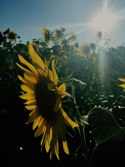 Flowers Galore, Amazing Display. Flower Collection Golden Moment sunshine sunflowers