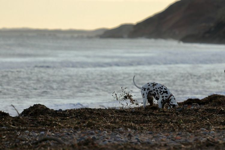 Dog Sea Beach Dalmation One Animal Animal Themes Animals In The Wild Nature Animal Wildlife Day Outdoors No People Mammal Beauty In Nature Water Sky