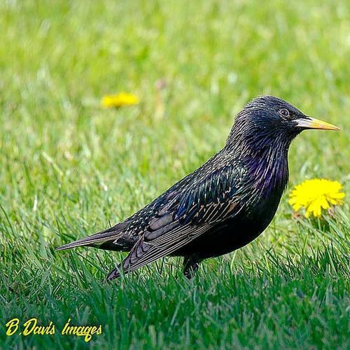 From a distance, the European Starling looks kind of blah but up close they have some amazing colors 😲 Starling Europeanstarling Colorful Birdphotography Ohiobirding Backyardbirds Wildlife Naturephotography Jr_lovebirds Bestbirdshots Kings_birds Featheredfriends Outdoors