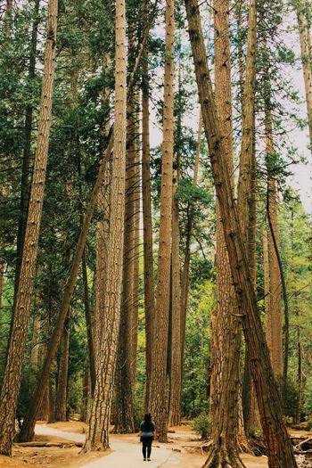 Giant trees Big