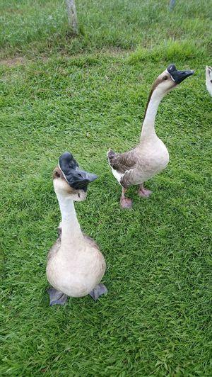 Bird Swan Goose