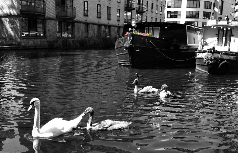 Animal Themes Animals In The Wild Architecture Barge Bird Boat Building Exterior Built Structure Cignets Duck Medium Group Of Animals Mode Of Transport Moored Nautical Vessel Rippled Swan Swans Swimming Transportation Two Animals Water Waterfront Wildlife The Great Outdoors - 2016 EyeEm Awards