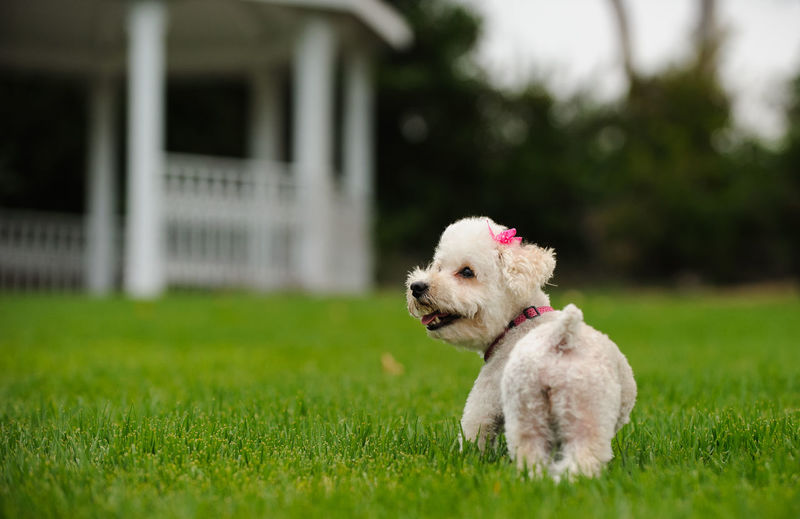 White Miniature Poodle dog outdoor portrait Bow Gazebo Poodle Animal Themes Cute Day Dog Domestic Animals Girl Grass Mammal Mini Miniature Poodle No People One Animal Outdoors Outside Park Pets Portrait White