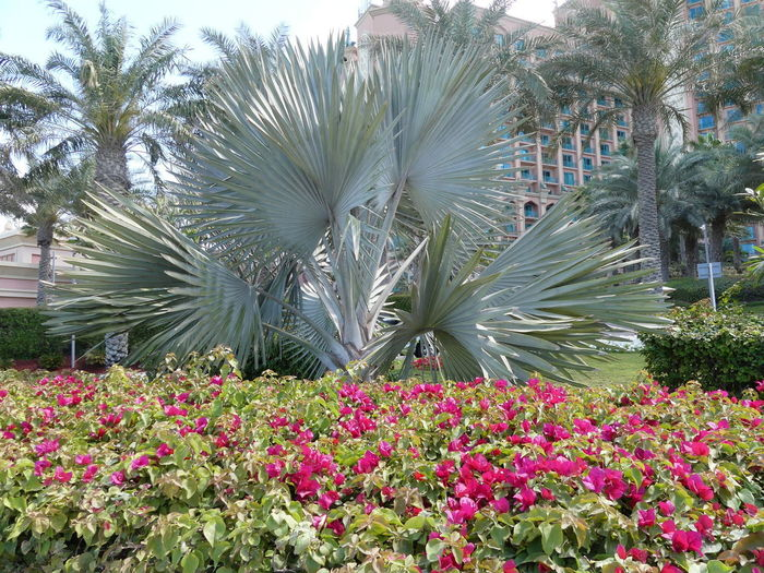 Fan Palm in the Gardens of the Atlantis Hotel, The Palm, Dubai, United Arab Emirates 2019 Dubai UAE 2019 The Palm Atlantis Hotel Fan Palm Flowering Plant Beauty In Nature Palm Trees Tropical Climate No People Garden Pink Color Flowerbed Man Made Gardens Beauty In Nature Growth Park - Man Made Space Pink And Green Colour Full Frame Composition Outdoor Photography Hotel Blue Sky Tourist Destination