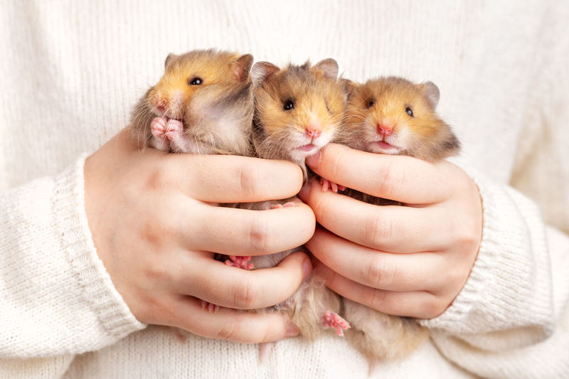 Three cute fluffy golden hamsters in the hands of a child on a light background. triplets.