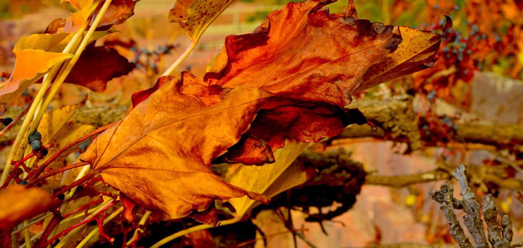 Automn Bokeh Botany Golden Light Leaves Nature Photography Orange Color Season
