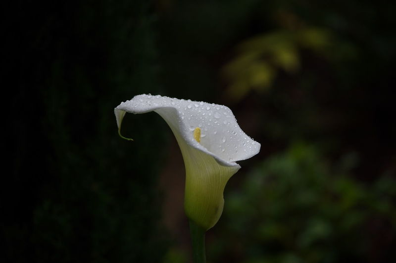 Close-up White Color Nature Fragility Beauty In Nature No People Flower Flower Head Black Background Freshness Calla Lilly Nature On Your Doorstep
