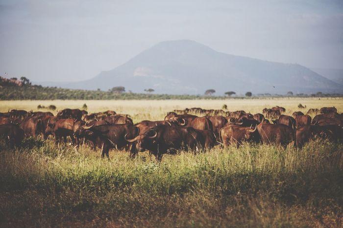 Kenya Buffalo Tsavo Wildanimal Safaripark Naturelovers