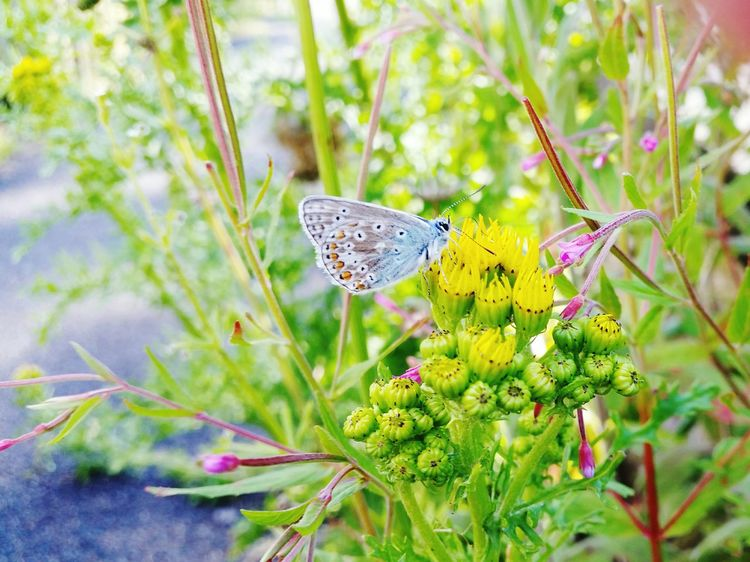 Common Blue Common Blue Butterfly Nature Flying Insect Insect Yellow Flower Blue Butterfly Butterfly Day Outdoors No People Beauty In Nature Patterns In Nature Sunlit Beauty Blue Microworld