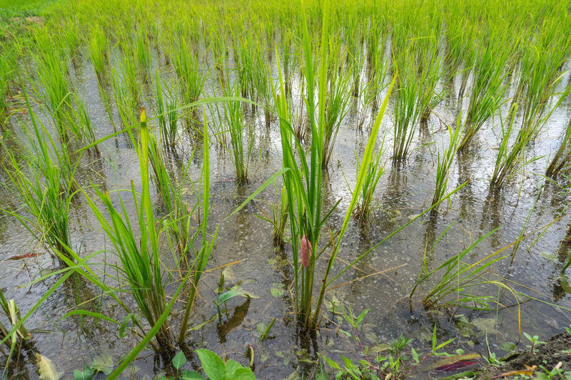Eggs of Golden applesnail in rice fields,.Evil enemies in rice fields Agriculture Applesnail Beauty In Nature Crop  Day Eggs Field Freshness Golden Applesnail Grass Green Color Growing Growth Marsh Nature No People Outdoors Plant Rural Scene Scenics Tranquility Water