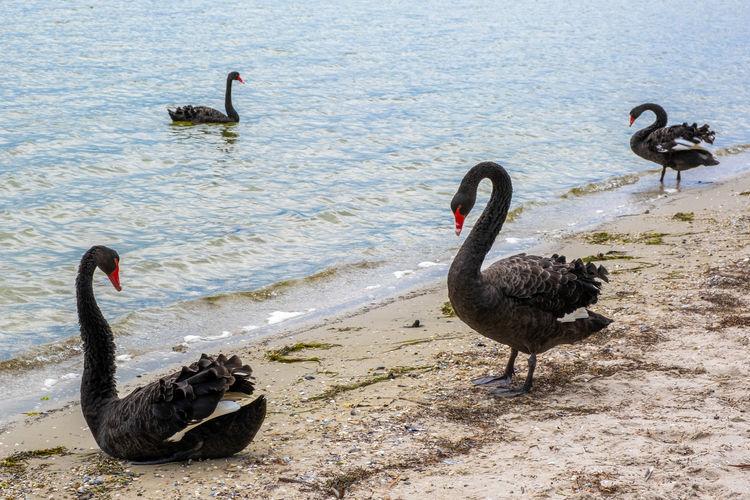 Black swan swimming in lake