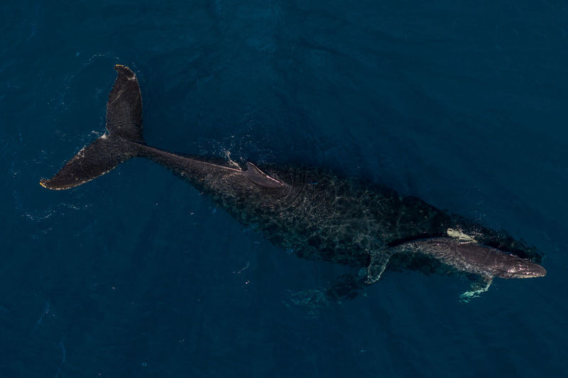 Femal humpback helping her newborn learn to swim