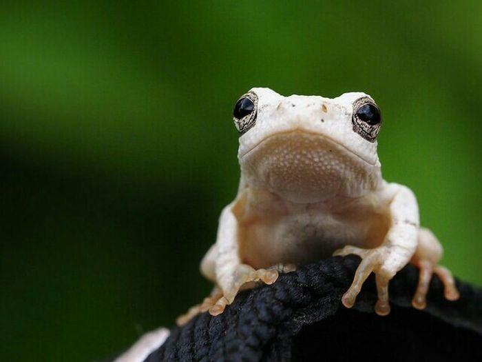 Olympus OM-D EM-1 nature Frog Rana Omd-em1 White EyeEm Animal Lover animal In Angola angola Animal Portrait