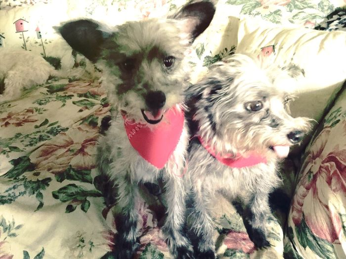 Saddie & Samantha proud of their new haircuts. (Chiapoodles) 🐾🐾 For My Friends That Connect Tadaa Friends Streamzoofamily Dogs Of EyeEm Happy Feet Cute Pets Pets Corner MyDogIsCoolerThanYours Remembering Tallulah Faces Of EyeEm