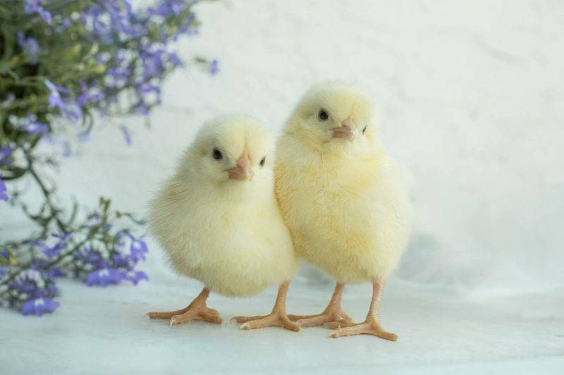 Close-Up Of Chicks On Table