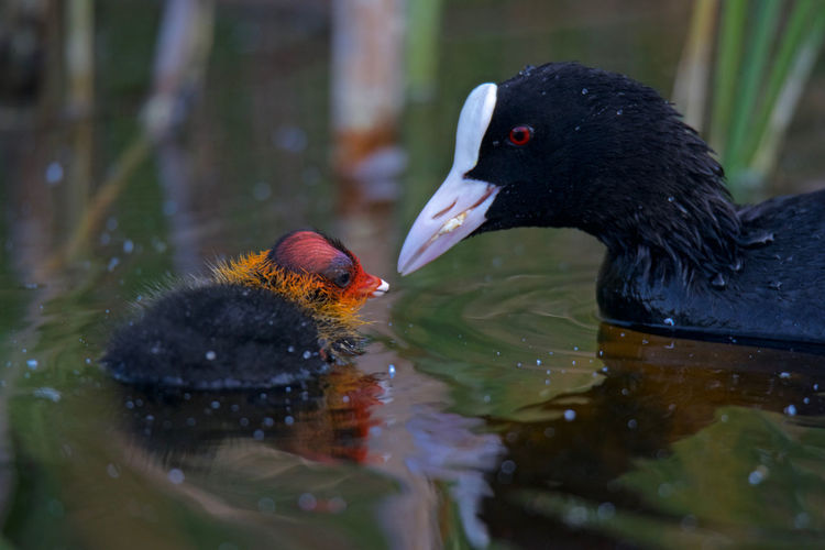 Eurasian coot Animal Themes Animals In The Wild Bird Close-up Day Eurasian Coot Feeding Her Newborn Feeding Time Fulica atra Lake Nature No People Outdoors Sweet♡ Water