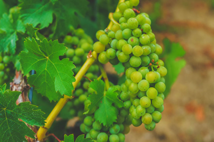 Close-up of grapes growing on field