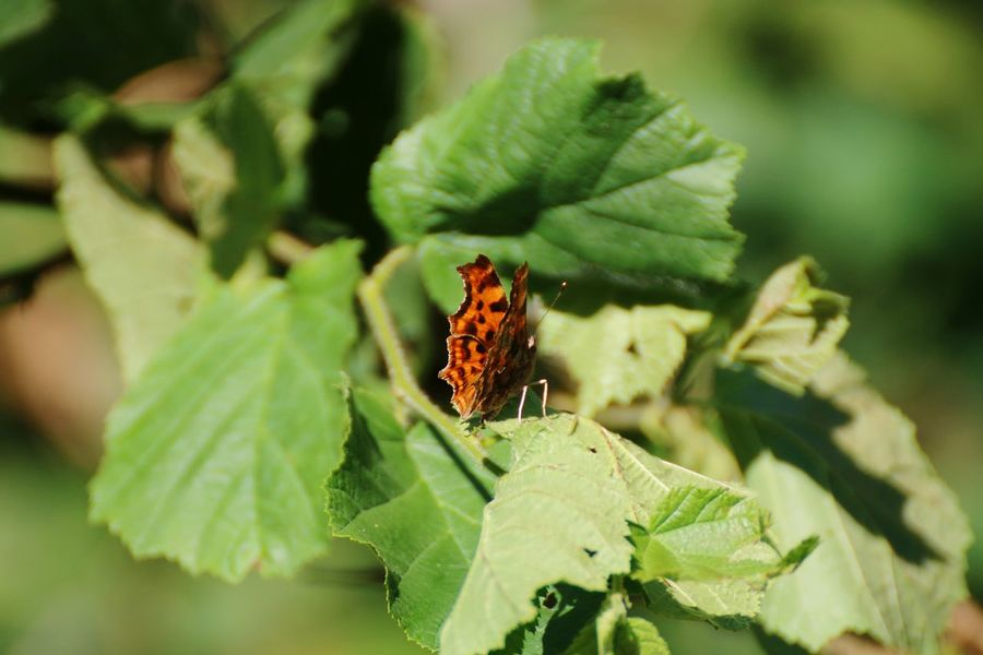 Insect Animal Wildlife Leaf Animals In The Wild Green Color No People Nature Social Issues Close-up Day Animal Themes Plant Outdoors Butterfly Fragility Beauty In Nature Nature Comma Butterfly - Insect