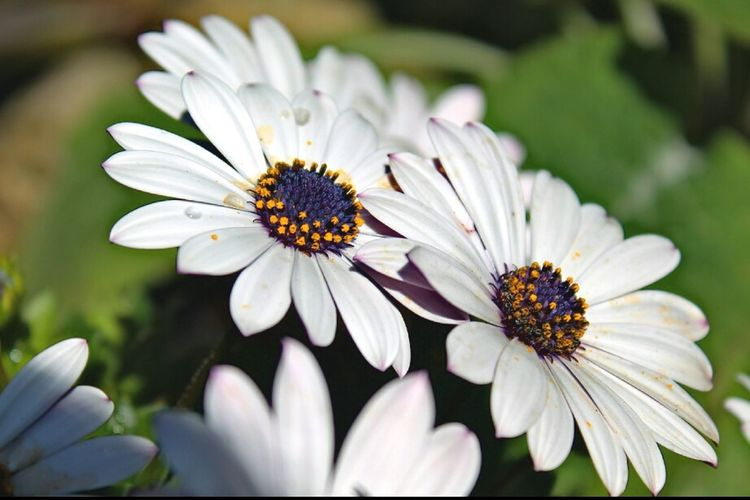 Flower Fragility Outdoors Day Plant No People Nature Petal Beauty In Nature Flower Head Close-up Freshness Living Organism Plant Osteospermum