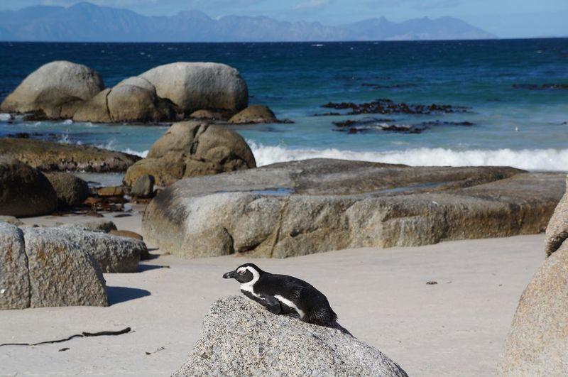 Penguin in