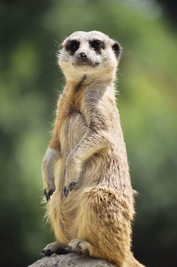 Alertness Animal Themes Animal Wildlife Animals In The Wild Close-up Cute Day Focus On Foreground Looking Looking Away Mammal Meerkat Nature No People One Animal Outdoors Portrait Standing Vertebrate Wildlife