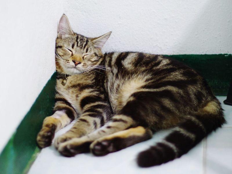 PENTAX K01 Pentax M 50 F 1.7 Catsleeping Americanshorthair Tabby Cat Close-up Ocicat Indoors  Whisker Animal Themes Indoors  Domestic Animals Pets Domestic Cat One Animal