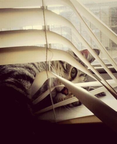 I'm wrecking your blinds but it's cool because I'm cute Cats Animals Animal Love