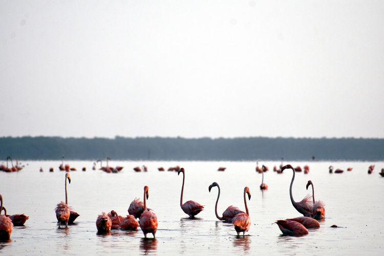 Group of flamingos at ría celestun, yucatán, méxico.