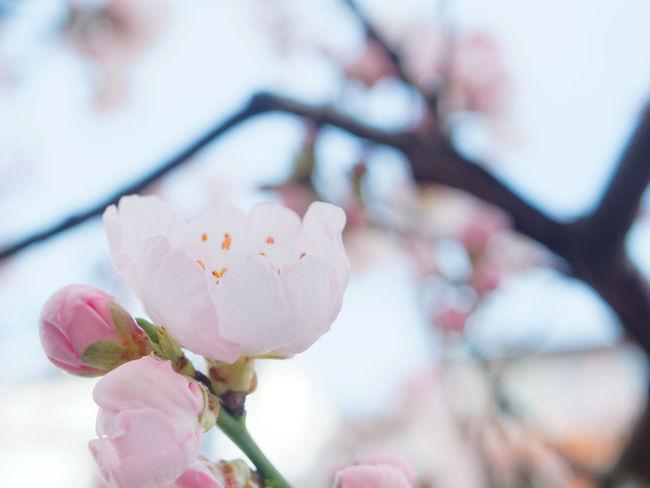 Beauty In Nature Blossom Claudetheen Close-up Flower Flower Head Fragility Pink Pink Color Sky Spring Springtime Tree Hanami Sakura  Hanami Cherry Blossom