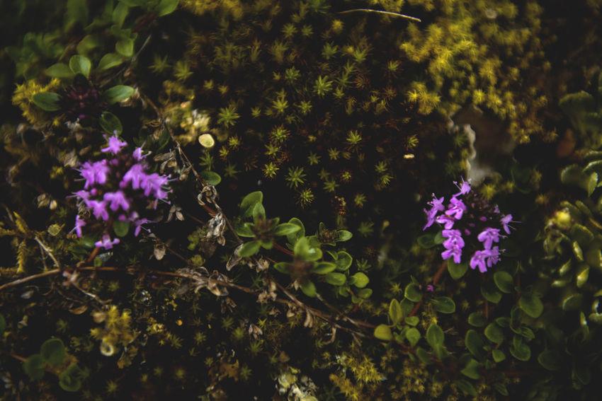 Botanical series: Micrology Alpine Gray Stonecrop Green Micro Nature Niphotrichum Plants Racomitrium Sedum Pachyclados Thymus Citriodorus Thymus Pulegioides Zackenmuetzen-Moos Zitronenthymian Alps Botanical Close-up Flowers Lemon Thyme Micrology Mini Moos Moss Mountain Plants Stonecrop Succulent Sukkulenten