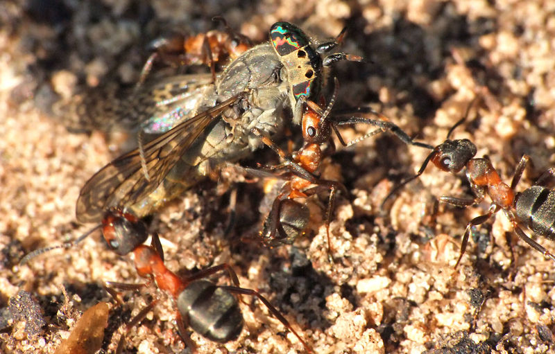 The fight Ants Eating Fight Formica Rufa Social Tabanidae Animals In The Wild Close-up Colorful Day Diptera Entomology Eyes Fighting For Life Forest Formicidae Gadfly Horse-fly Hymenoptera Insect Macro Nature No People Outdoors Uneven Fight