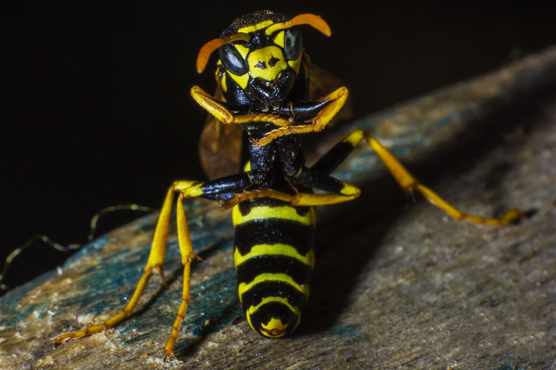 Close-up of wasps