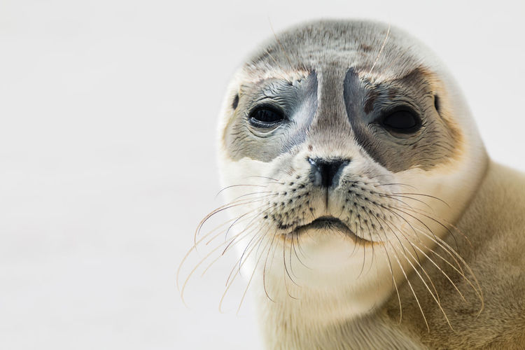 Portrait of seal against white background