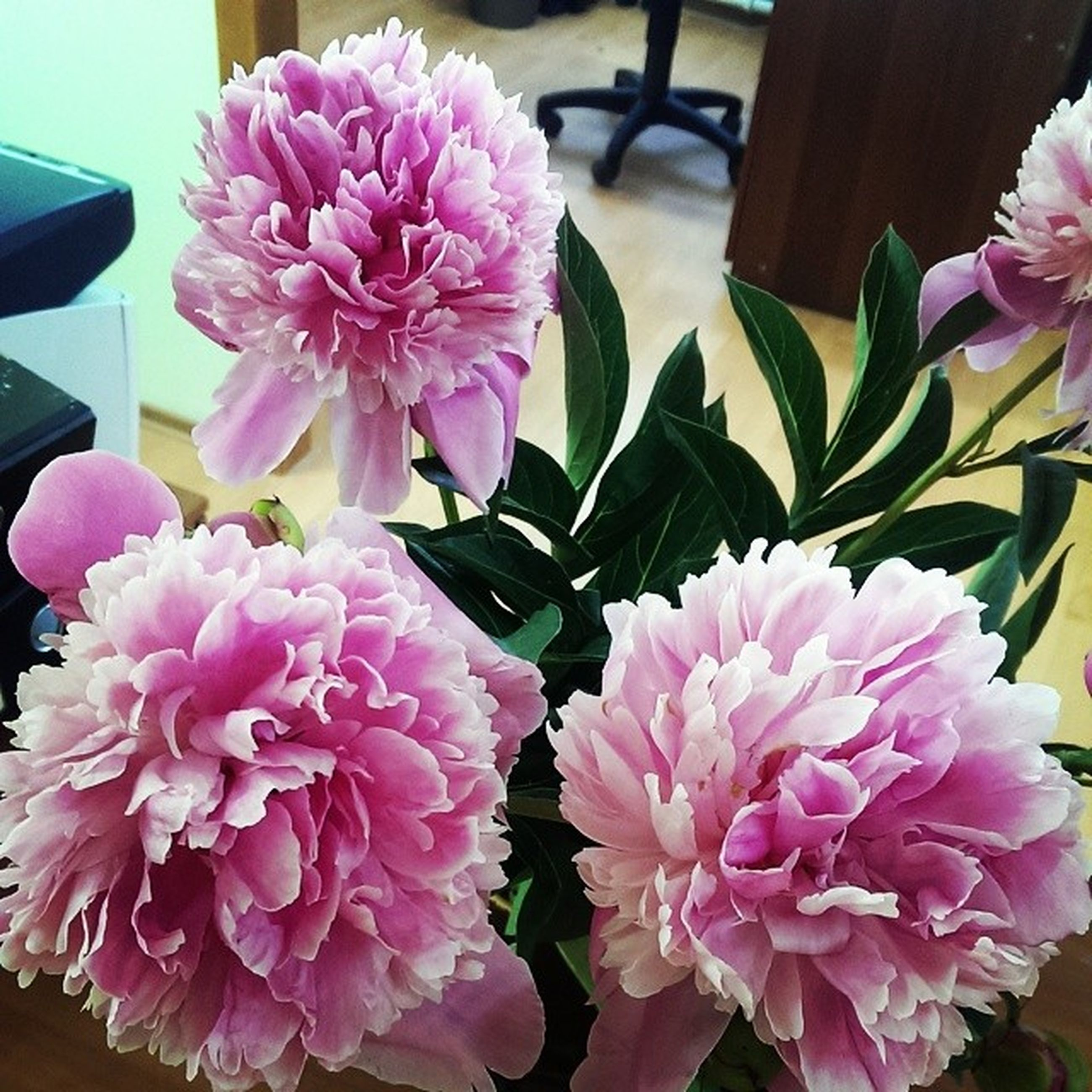 flower, freshness, pink color, petal, fragility, flower head, beauty in nature, indoors, growth, close-up, nature, pink, blooming, plant, bunch of flowers, high angle view, potted plant, focus on foreground, no people, flower arrangement