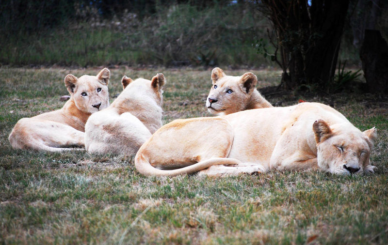 Animal Animal Family Animal Themes Animal Wildlife Animals In The Wild Grass Group Of Animals Lion - Feline Lioness Mammal Nature Relaxation Resting Young Animal