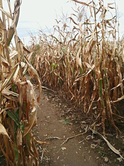 Corn Maze Corn