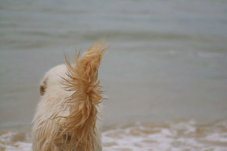 Tail Maremma Ocean Beach Pet Photography  Canon Photography Water Canine Pet Dog Focus On Foreground Nature Close-up Day No People Outdoors Environment Selective Focus Wind
