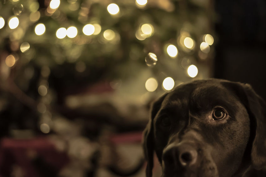 Dog bokeh Christmas Christmas Lights Dogs Of EyeEm Labrador Animal Themes Bokeh Close-up Dog Domestic Animals Focus On Foreground Indoors  Mammal Night No People One Animal Pets